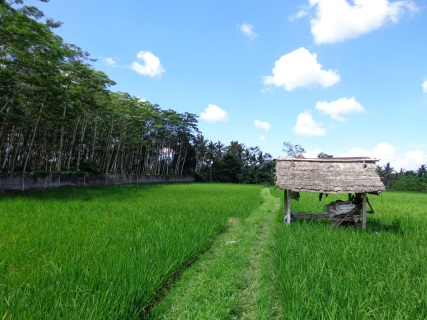 Rice fields just behind Angel House.
